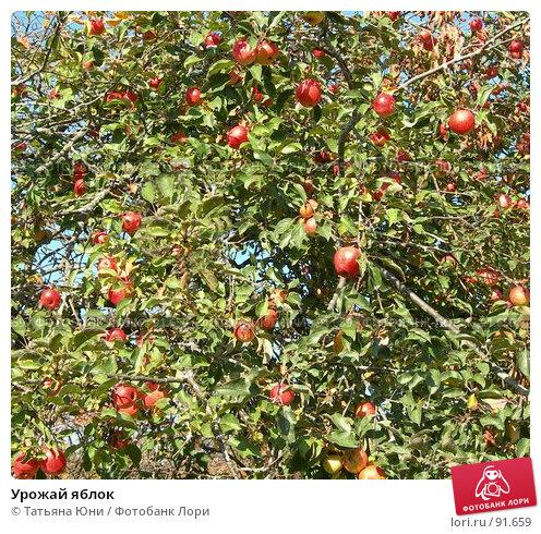 Купить «Урожай яблок», фото № 91659, снято 30 сентября 2007 г. (c) Татьяна Юни / Фотобанк Лори