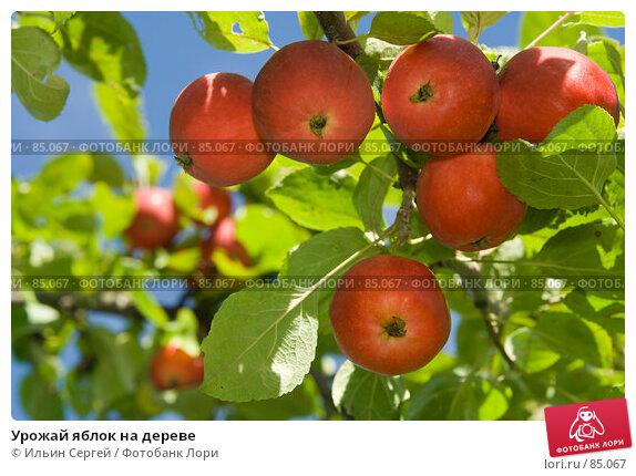 Урожай яблок на дереве, фото № 85067, снято 8 сентября 2007 г. (c) Ильин Сергей / Фотобанк Лори