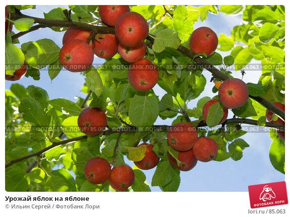 Урожай яблок на яблоне, фото № 85063, снято 8 сентября 2007 г. (c) Ильин Сергей / Фотобанк Лори
