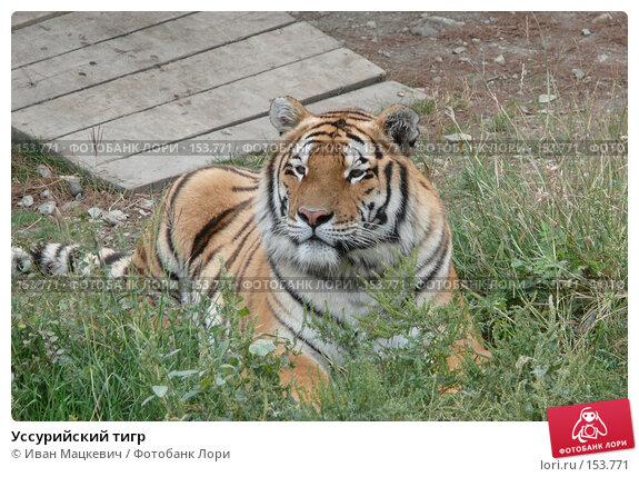 Уссурийский тигр, фото № 153771, снято 23 сентября 2007 г. (c) Иван Мацкевич / Фотобанк Лори