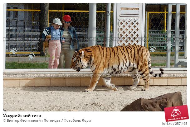 Уссурийский тигр, фото № 257495, снято 13 апреля 2008 г. (c) Виктор Филиппович Погонцев / Фотобанк Лори