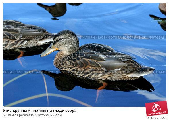 Утка крупным планом на глади озера, фото № 9651, снято 31 июля 2006 г. (c) Ольга Красавина / Фотобанк Лори