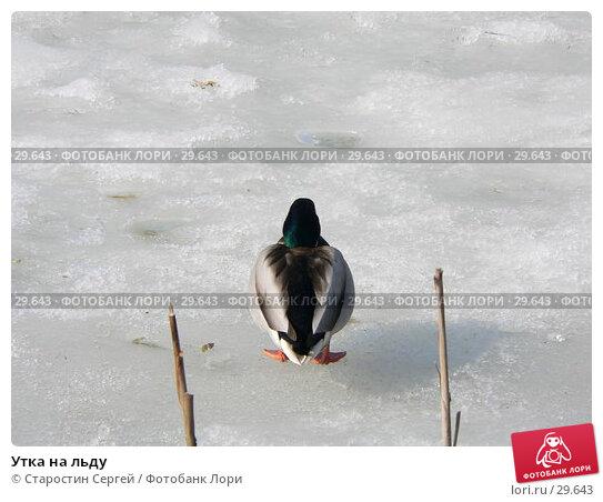 Утка на льду, фото № 29643, снято 19 марта 2007 г. (c) Старостин Сергей / Фотобанк Лори