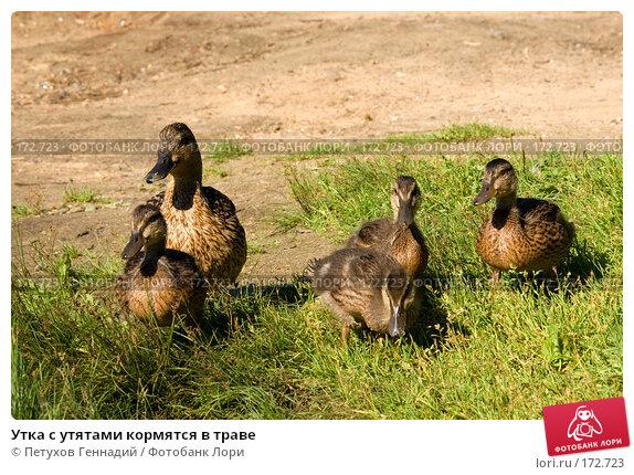 Утка с утятами кормятся в траве, фото № 172723, снято 15 июля 2007 г. (c) Петухов Геннадий / Фотобанк Лори