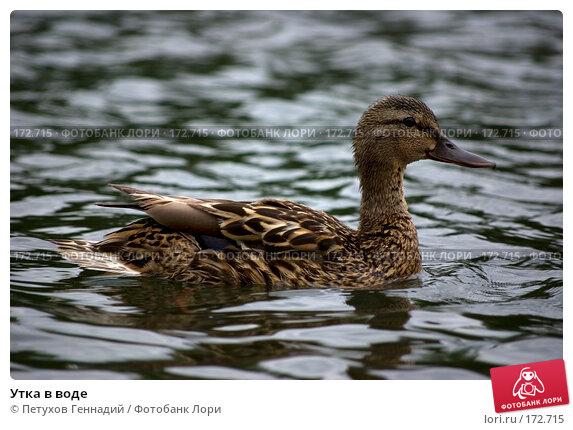 Утка в воде, фото № 172715, снято 7 июля 2007 г. (c) Петухов Геннадий / Фотобанк Лори