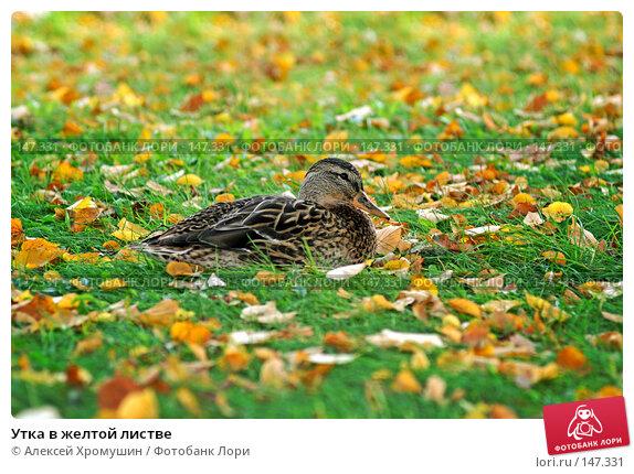 Купить «Утка в желтой листве», фото № 147331, снято 28 сентября 2006 г. (c) Алексей Хромушин / Фотобанк Лори