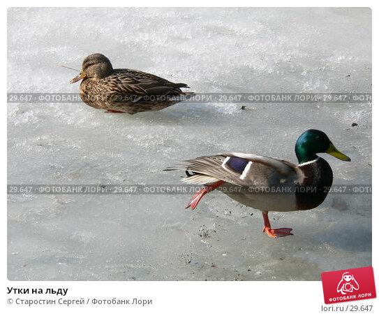 Утки на льду, фото № 29647, снято 19 марта 2007 г. (c) Старостин Сергей / Фотобанк Лори