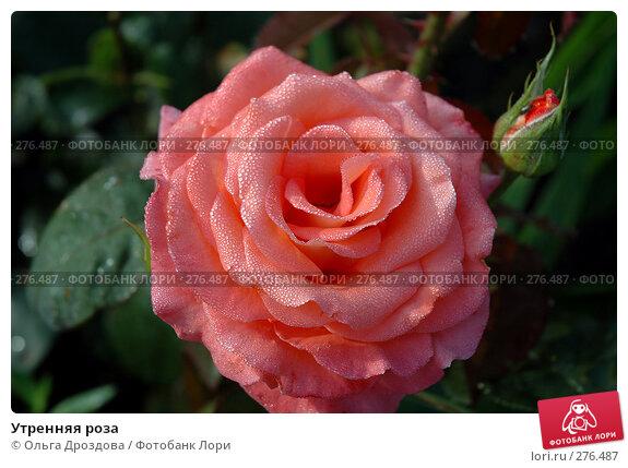 Утренняя роза, фото № 276487, снято 29 июля 2005 г. (c) Ольга Дроздова / Фотобанк Лори