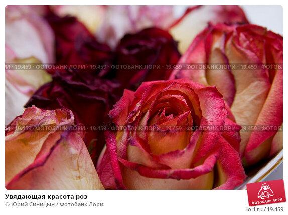 Увядающая красота роз, фото № 19459, снято 1 января 2007 г. (c) Юрий Синицын / Фотобанк Лори