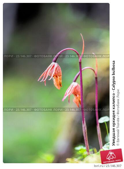 Купить «Увядшая орхидея калипсо - Calypso bulbosa», фото № 23146307, снято 22 мая 2016 г. (c) Евгений Ткачёв / Фотобанк Лори