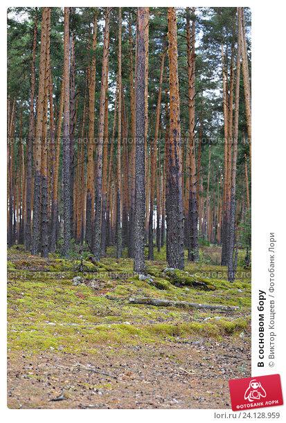 Купить «В сосновом бору», фото № 24128959, снято 5 августа 2016 г. (c) Виктор Кощеев / Фотобанк Лори
