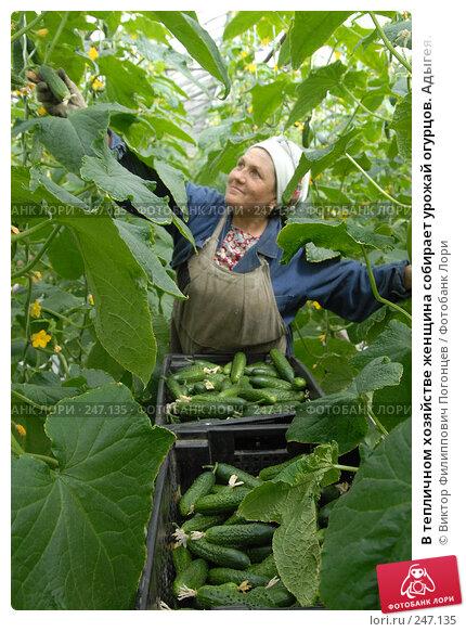 В тепличном хозяйстве женщина собирает урожай огурцов. Адыгея., фото № 247135, снято 7 апреля 2006 г. (c) Виктор Филиппович Погонцев / Фотобанк Лори
