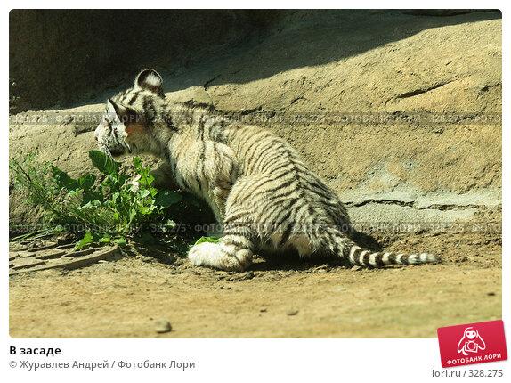 В засаде, эксклюзивное фото № 328275, снято 18 июня 2008 г. (c) Журавлев Андрей / Фотобанк Лори