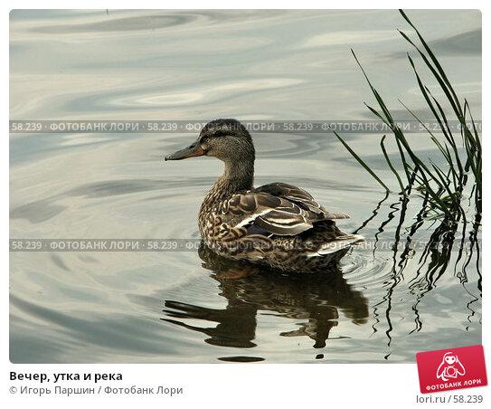 Вечер, утка и река, фото № 58239, снято 17 июня 2007 г. (c) Игорь Паршин / Фотобанк Лори