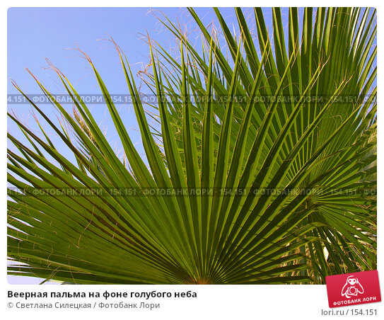 Веерная пальма на фоне голубого неба, фото № 154151, снято 8 августа 2007 г. (c) Светлана Силецкая / Фотобанк Лори