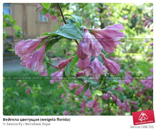 Вейгела цветущая (weigela florida), фото № 290723, снято 17 мая 2008 г. (c) Заноза-Ру / Фотобанк Лори