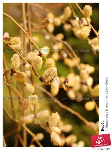 Верба, фото № 240319, снято 24 марта 2008 г. (c) Лифанцева Елена / Фотобанк Лори