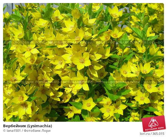 Купить «Вербейник (Lysimachia)», эксклюзивное фото № 365015, снято 13 июля 2008 г. (c) lana1501 / Фотобанк Лори
