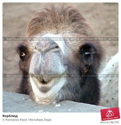 Верблюд, фото № 46715, снято 23 октября 2016 г. (c) Parmenov Pavel / Фотобанк Лори