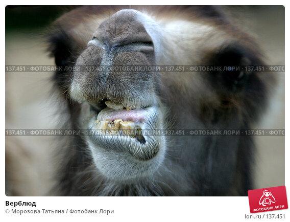 Верблюд, фото № 137451, снято 14 июня 2004 г. (c) Морозова Татьяна / Фотобанк Лори