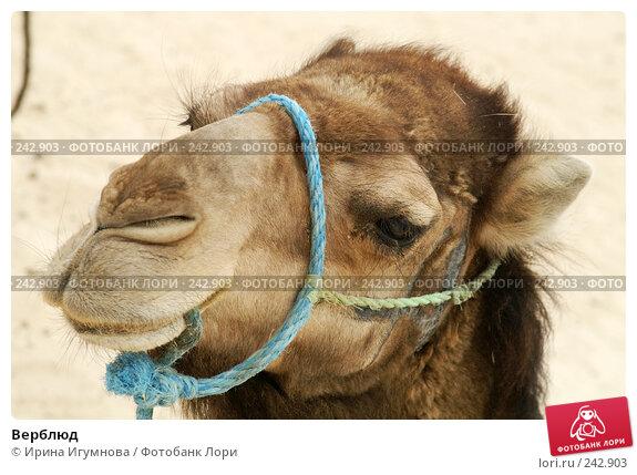 Верблюд, фото № 242903, снято 13 июня 2006 г. (c) Ирина Игумнова / Фотобанк Лори