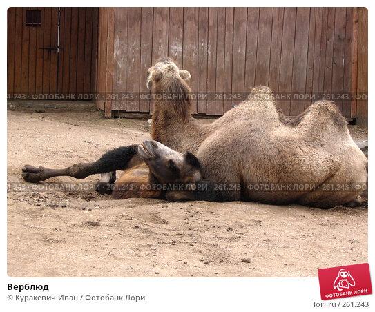 Верблюд, фото № 261243, снято 26 августа 2006 г. (c) Куракевич Иван / Фотобанк Лори