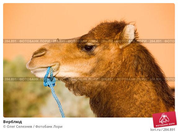 Купить «Верблюд», фото № 284891, снято 29 февраля 2008 г. (c) Олег Селезнев / Фотобанк Лори