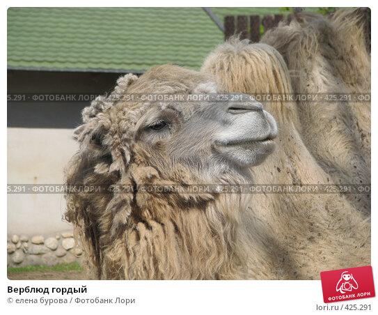 Купить «Верблюд гордый», фото № 425291, снято 27 апреля 2008 г. (c) елена бурова / Фотобанк Лори