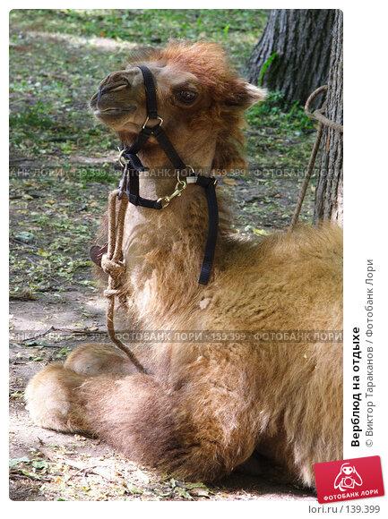 Верблюд на отдыхе, эксклюзивное фото № 139399, снято 23 августа 2017 г. (c) Виктор Тараканов / Фотобанк Лори