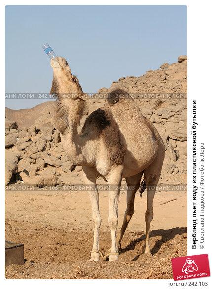 Верблюд пьет воду из пластиковой бутылки, фото № 242103, снято 3 декабря 2016 г. (c) Cветлана Гладкова / Фотобанк Лори