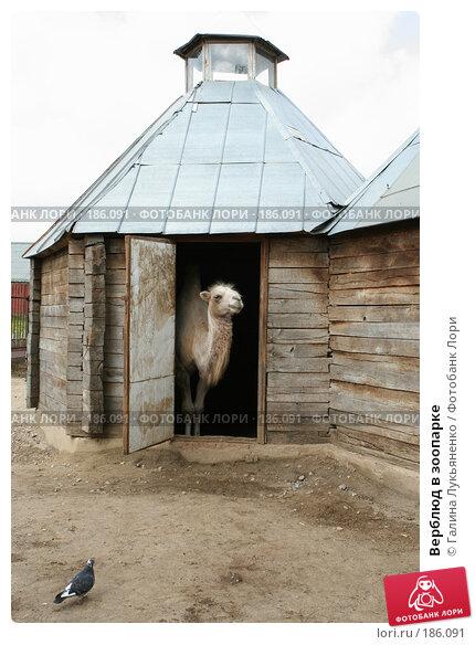 Верблюд в зоопарке, фото № 186091, снято 26 июля 2007 г. (c) Галина Лукьяненко / Фотобанк Лори