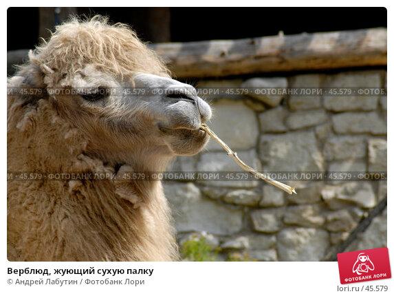 Верблюд, жующий сухую палку, фото № 45579, снято 20 мая 2007 г. (c) Андрей Лабутин / Фотобанк Лори
