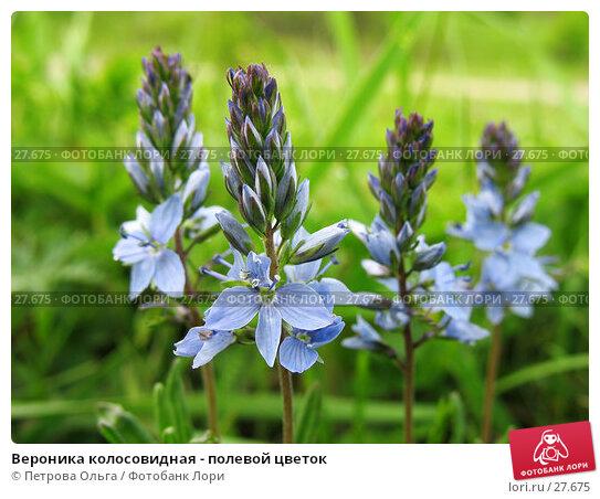 Вероника колосовидная - полевой цветок, фото № 27675, снято 18 мая 2006 г. (c) Петрова Ольга / Фотобанк Лори