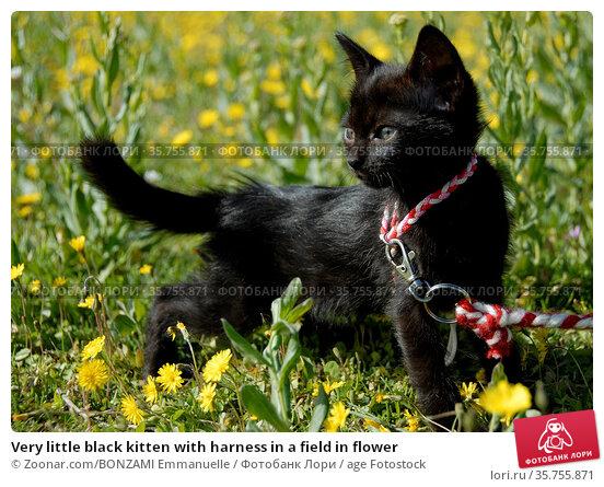 Very little black kitten with harness in a field in flower. Стоковое фото, фотограф Zoonar.com/BONZAMI Emmanuelle / age Fotostock / Фотобанк Лори