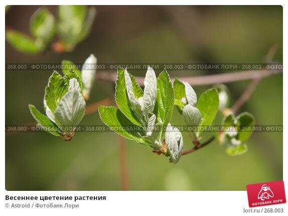 Весеннее цветение растения, фото № 268003, снято 29 апреля 2008 г. (c) Astroid / Фотобанк Лори