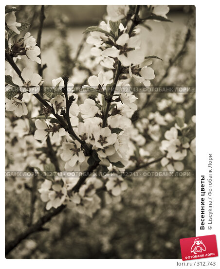 Купить «Весенние цветы», фото № 312743, снято 2 мая 2008 г. (c) Liseykina / Фотобанк Лори