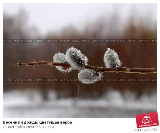 Весенний дождь, цветущая верба, фото № 242755, снято 16 марта 2008 г. (c) Олег Рубик / Фотобанк Лори
