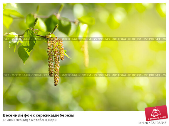 Весенний фон с сережками березы, фото № 22198343, снято 23 мая 2015 г. (c) Икан Леонид / Фотобанк Лори