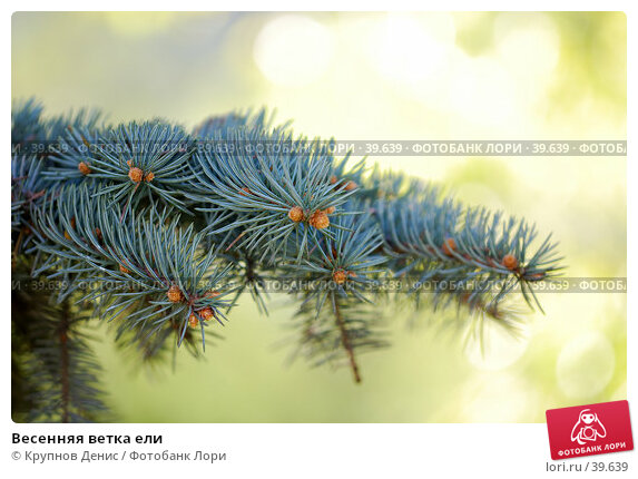Весенняя ветка ели, фото № 39639, снято 5 апреля 2007 г. (c) Крупнов Денис / Фотобанк Лори