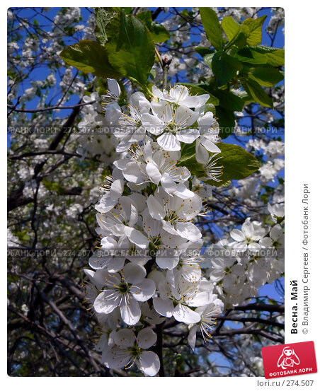 Весна. Май, фото № 274507, снято 26 марта 2017 г. (c) Владимир Сергеев / Фотобанк Лори