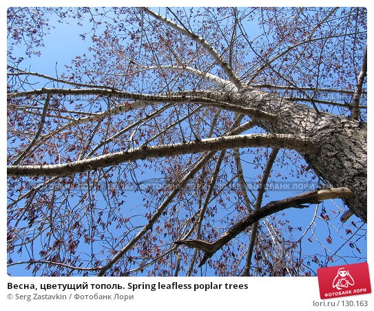 Купить «Весна, цветущий тополь. Spring leafless poplar trees», фото № 130163, снято 7 мая 2005 г. (c) Serg Zastavkin / Фотобанк Лори