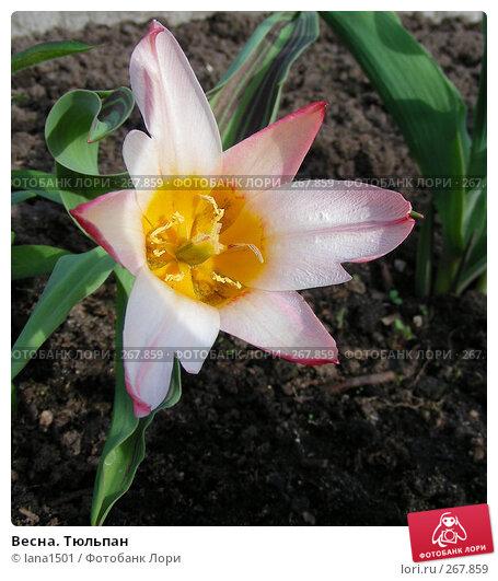 Весна. Тюльпан, эксклюзивное фото № 267859, снято 30 апреля 2008 г. (c) lana1501 / Фотобанк Лори