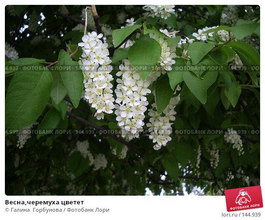 Весна,черемуха цветет, фото № 144939, снято 27 апреля 2006 г. (c) Галина  Горбунова / Фотобанк Лори