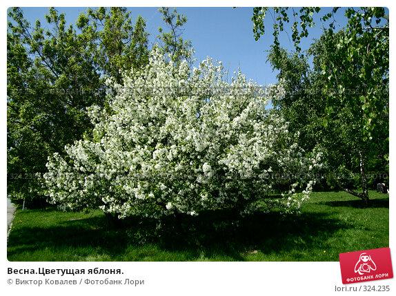 Весна.Цветущая яблоня., фото № 324235, снято 22 мая 2008 г. (c) Виктор Ковалев / Фотобанк Лори