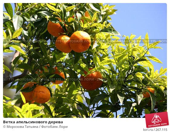 Купить «Ветка апельсинового дерева», фото № 267115, снято 13 апреля 2008 г. (c) Морозова Татьяна / Фотобанк Лори