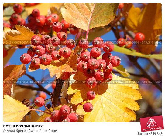 Купить «Ветка боярышника», фото № 549343, снято 26 октября 2008 г. (c) Алла Кригер / Фотобанк Лори