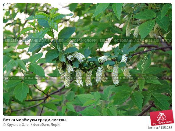 Ветка черёмухи среди листвы, фото № 135235, снято 27 мая 2006 г. (c) Круглов Олег / Фотобанк Лори
