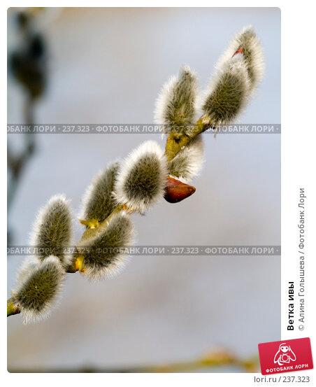 Купить «Ветка ивы», эксклюзивное фото № 237323, снято 22 ноября 2017 г. (c) Алина Голышева / Фотобанк Лори