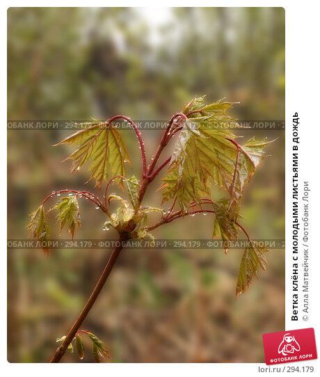Купить «Ветка клёна с молодыми листьями в дождь», фото № 294179, снято 18 мая 2008 г. (c) Алла Матвейчик / Фотобанк Лори