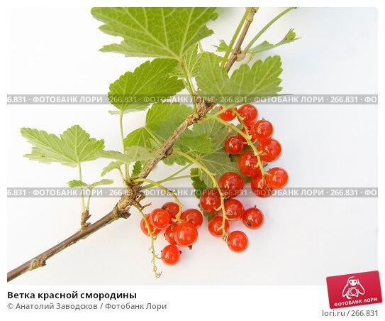 Ветка красной смородины, фото № 266831, снято 12 августа 2006 г. (c) Анатолий Заводсков / Фотобанк Лори